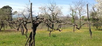 Lonardo estate vineyard taurasi old vines